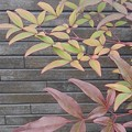 Photos: 赤い葉(12月5日)