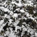 雪が積もった植え込み(12月17日)
