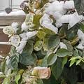 Photos: 小さな葉と雪(12月17日)