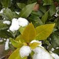 Photos: 緑の葉と雪(12月17日)