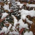 南天と雪(12月17日)
