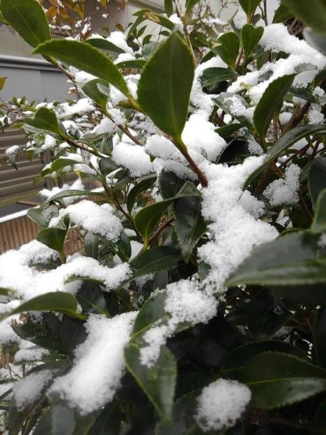 サザンカの葉と雪(12月17日)