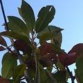 庭の緑の葉(12月7日)