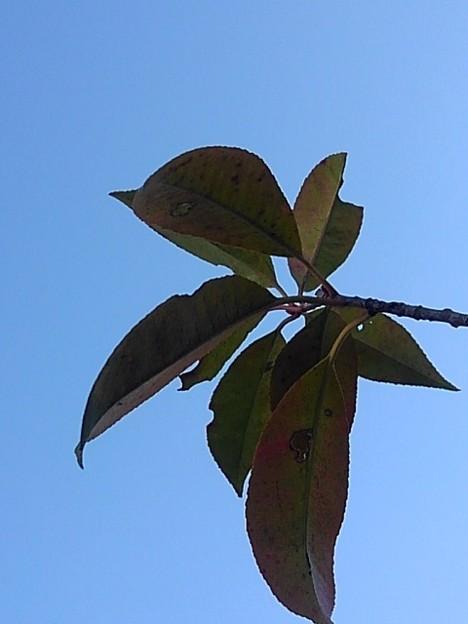 晴れた日に映える庭の葉(12月7日)