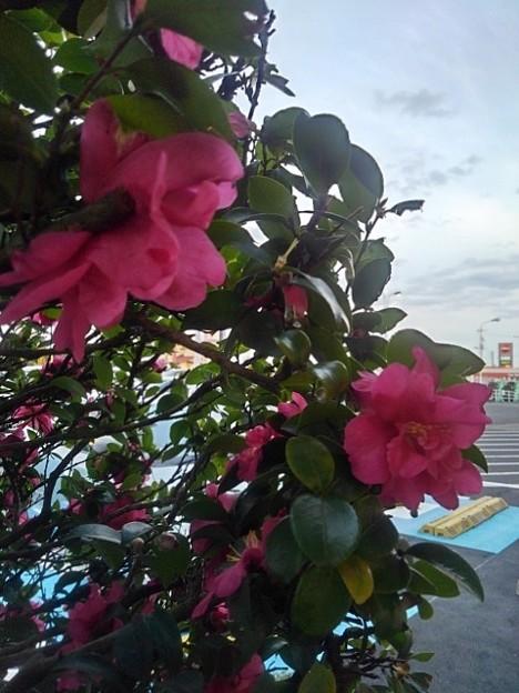 ヨークベニマル那須塩原店のサザンカ(12月12日)