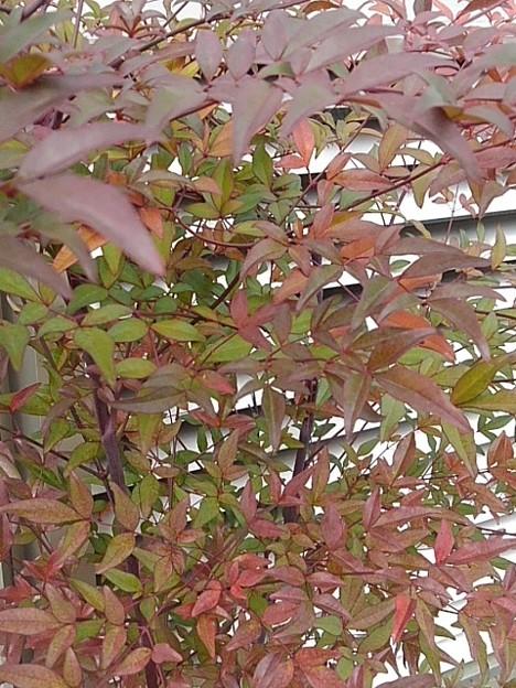 赤い葉(12月16日)
