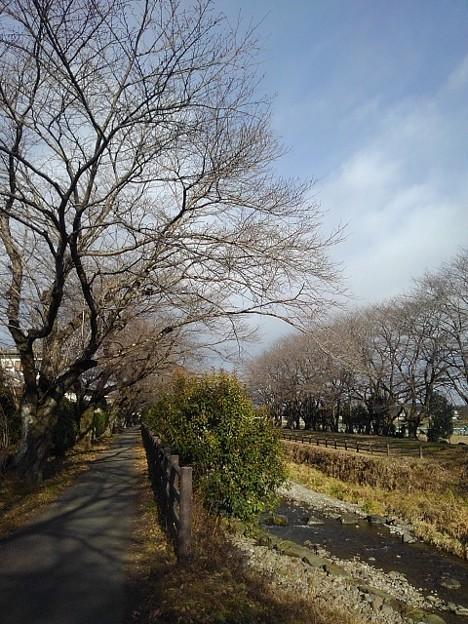 川と並木(12月26日)