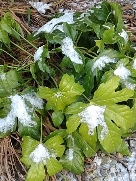 ヤツデと雪(1月8日)