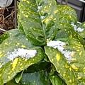 ブチ模様の葉と雪(1月8日)