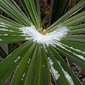 細い葉と雪(1月8日)