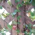 Photos: 小さな葉と木の壁(1月10日)