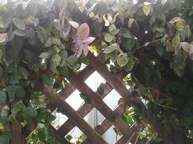 格子状の壁と葉(1月10日)