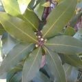 緑の葉(1月10日)