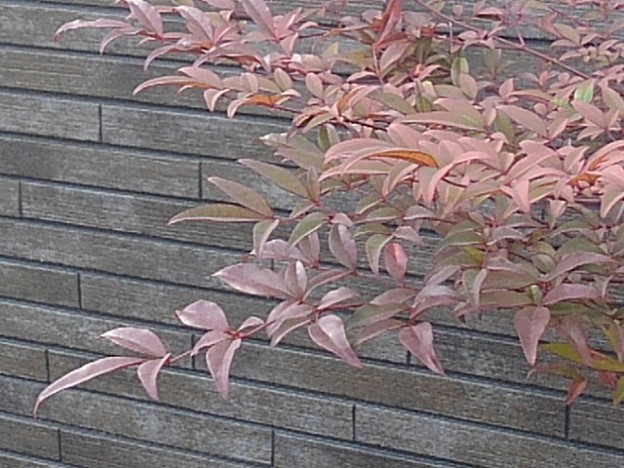 焦茶の壁と赤い葉(1月10日)