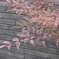 Photos: 焦茶の壁と赤い葉(1月10日)