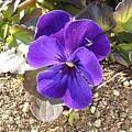 道の駅やいたの紫のパンジー(1月21日)
