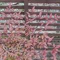 赤い葉(1月12日)