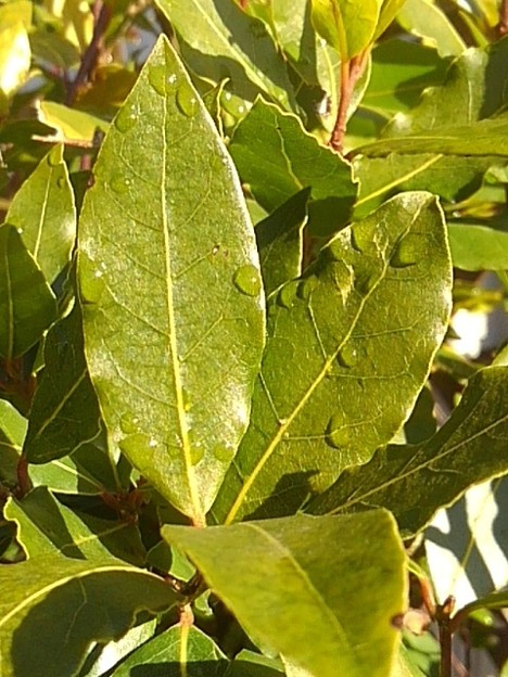 緑の葉(1月13日)