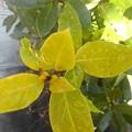 黄緑の葉(1月13日)