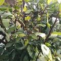 緑の葉(1月19日)