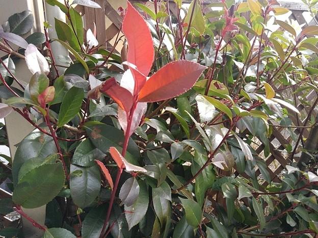 赤い葉(1月19日)