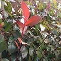 Photos: 赤い葉(1月19日)