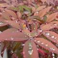 雫がいっぱいある葉(1月27日)
