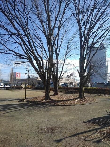 公園の木(1月18日)