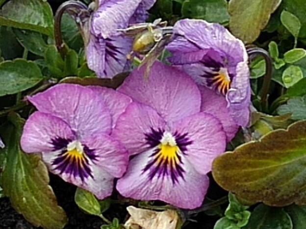 長峰公園の薄紫パンジー(1月24日)