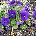 長峰公園の紫パンジー(1月24日)