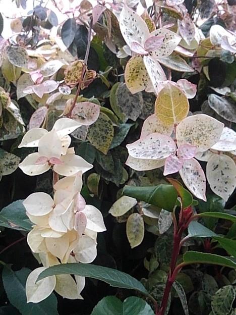 白い葉(2月1日)