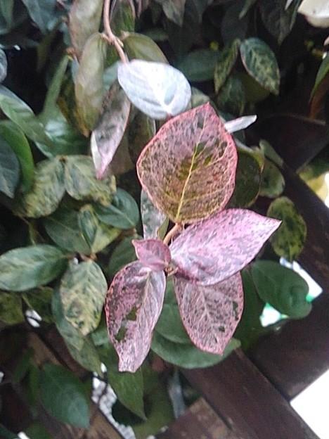 赤い葉(2月1日)