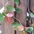赤と緑の葉(2月1日)