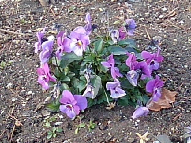 矢板駅の紫の群生パンジー(1月29日)