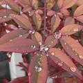 赤い葉の雫(2月2日)