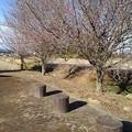 川崎城跡公園の梅の木(1月30日)