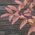 焦茶色の壁と葉と雫(2月2日)