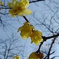 長峰公園のロウバイ(2月14日)