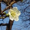 長峰公園の空と梅の花(2月14日)