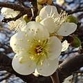 長峰公園の梅の花(2月14日)