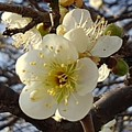 Photos: 長峰公園の梅の花(2月14日)