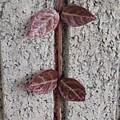 Photos: 壁と小さな赤い葉(2月9日)