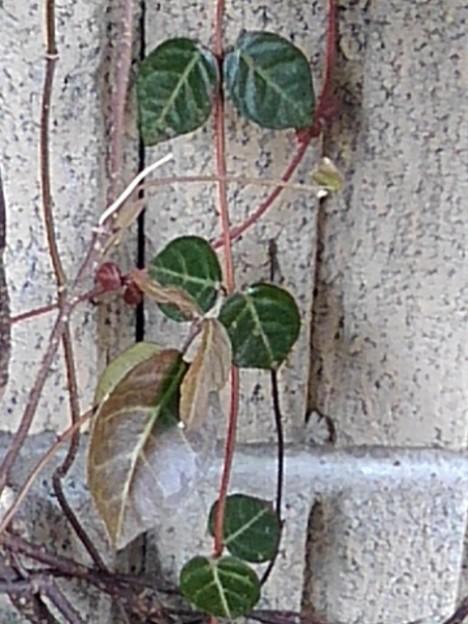 壁と小さな緑の葉(2月9日)