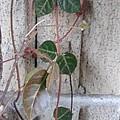Photos: 壁と小さな緑の葉(2月9日)