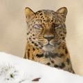 写真: 雪の季節は本領発揮のはずのアムールヒョウなのに…むすっ顔のアニュイ君。@安佐