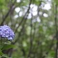 写真: 八景島の紫陽花