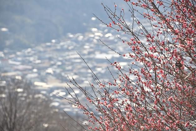 宝登山からの光景と咲き始めの梅