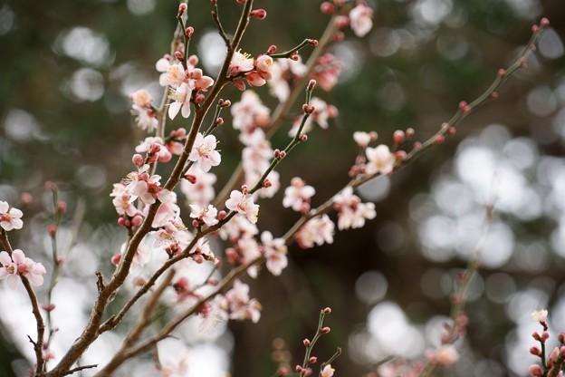 弘道館の梅