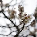Photos: 偕楽園の梅