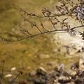 咲き始めの松川沿いの桜